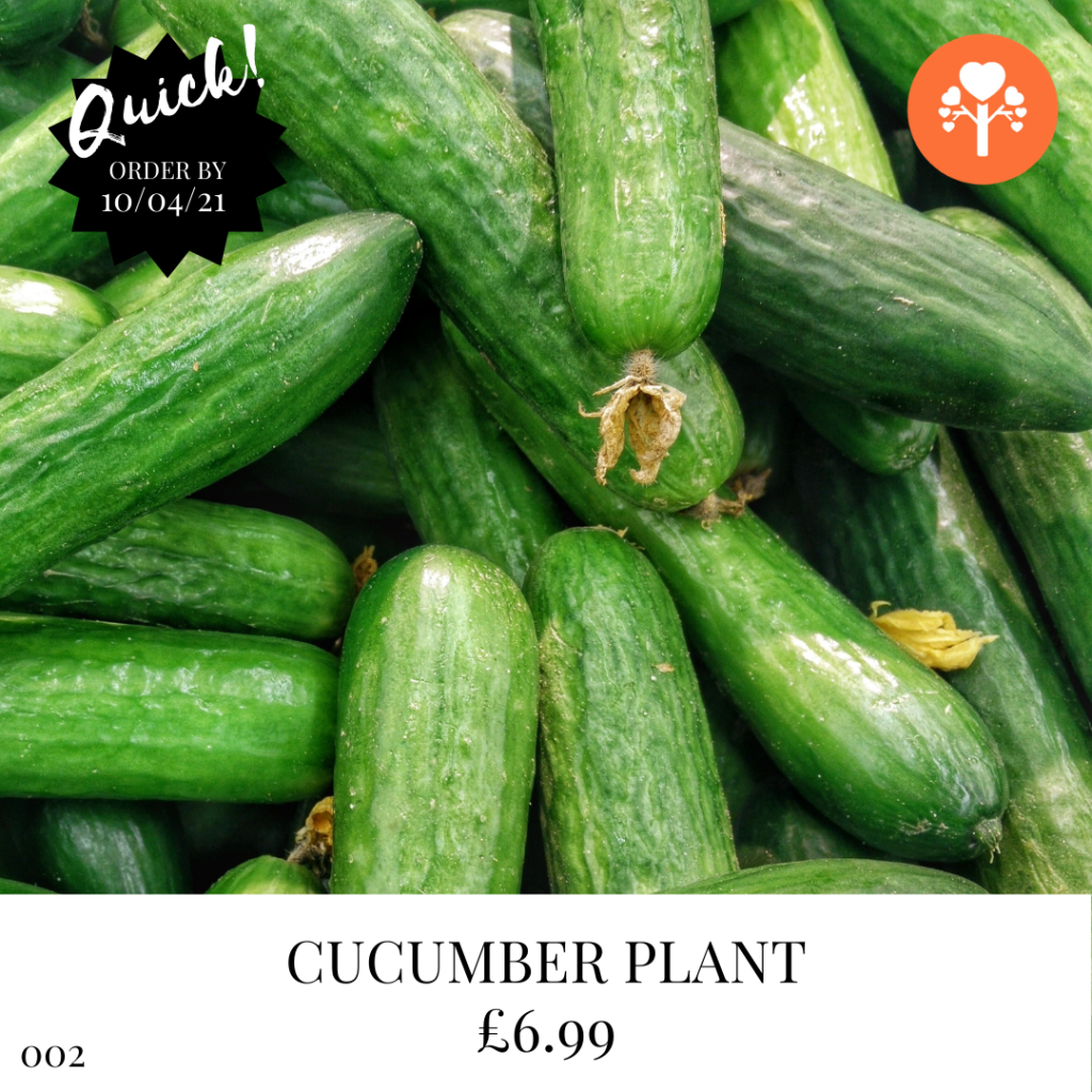 Grow Your Own Cucumber Plants